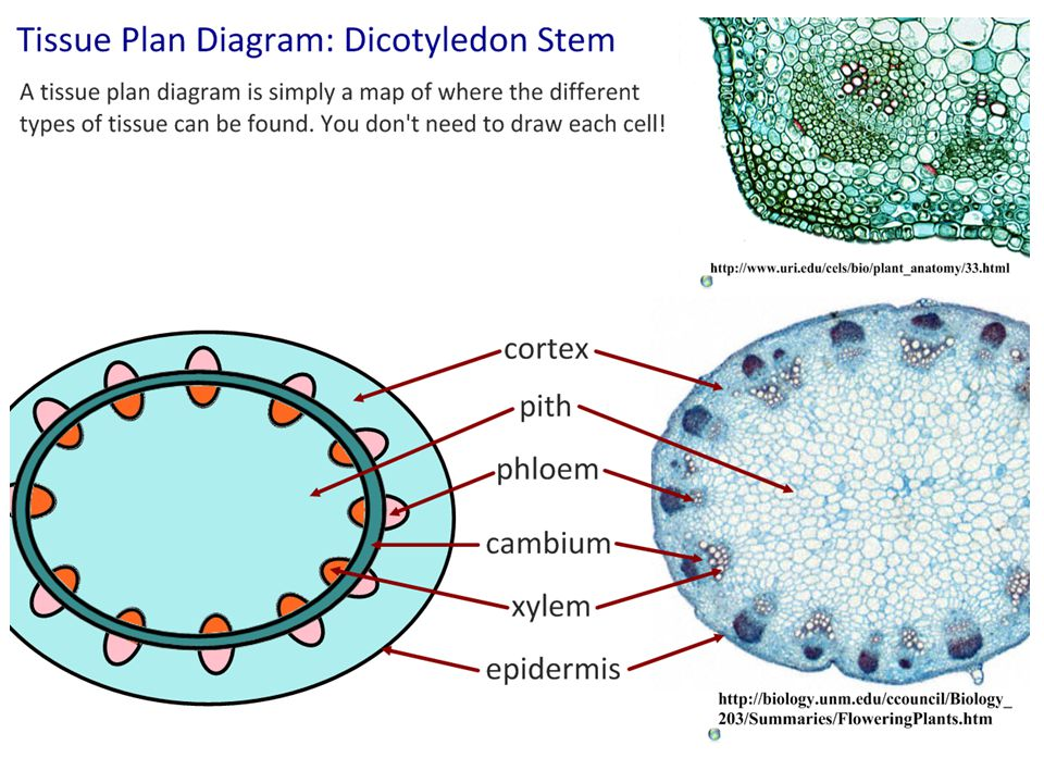 Distribution of Tissues in Stem and Leaf of Dichotyledonous Plants Epidermis surrounds and contain stem/leaf organ and vascular tissue; outer layer of wax coated cells that provide protection.
