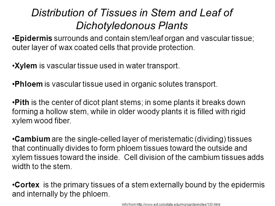 Distribution of Tissues in Stem and Leaf of Dichotyledonous Plants Epidermis surrounds and contain stem/leaf organ and vascular tissue; outer layer of