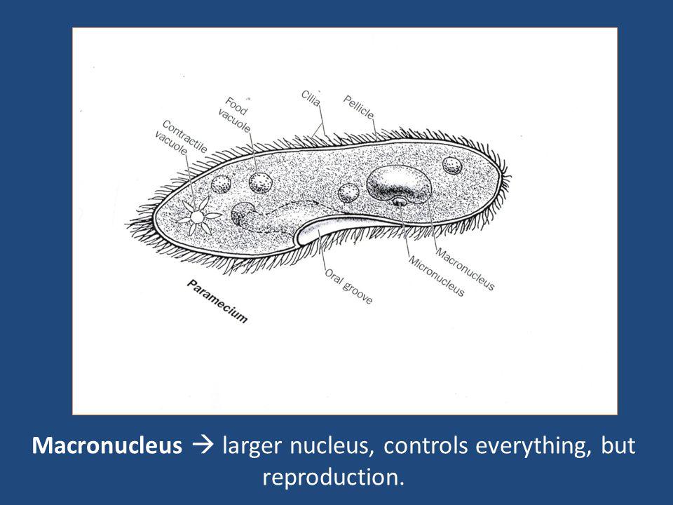 Macronucleus  larger nucleus, controls everything, but reproduction.