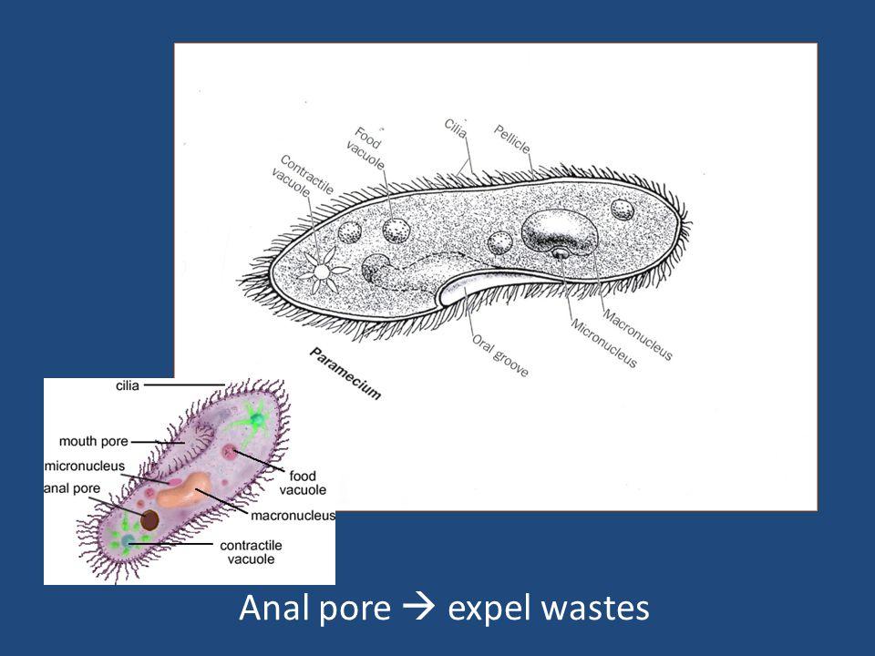 Anal pore  expel wastes