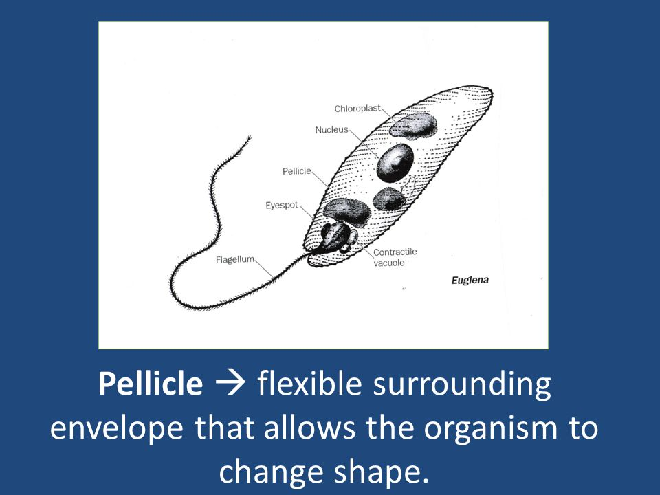 Pellicle  flexible surrounding envelope that allows the organism to change shape.