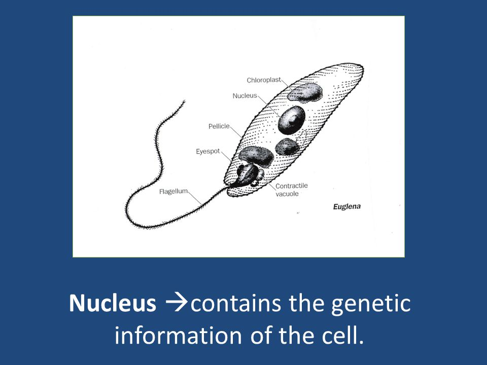 Nucleus  contains the genetic information of the cell.