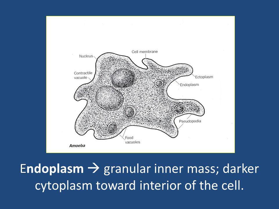 E Endoplasm  granular inner mass; darker cytoplasm toward interior of the cell.