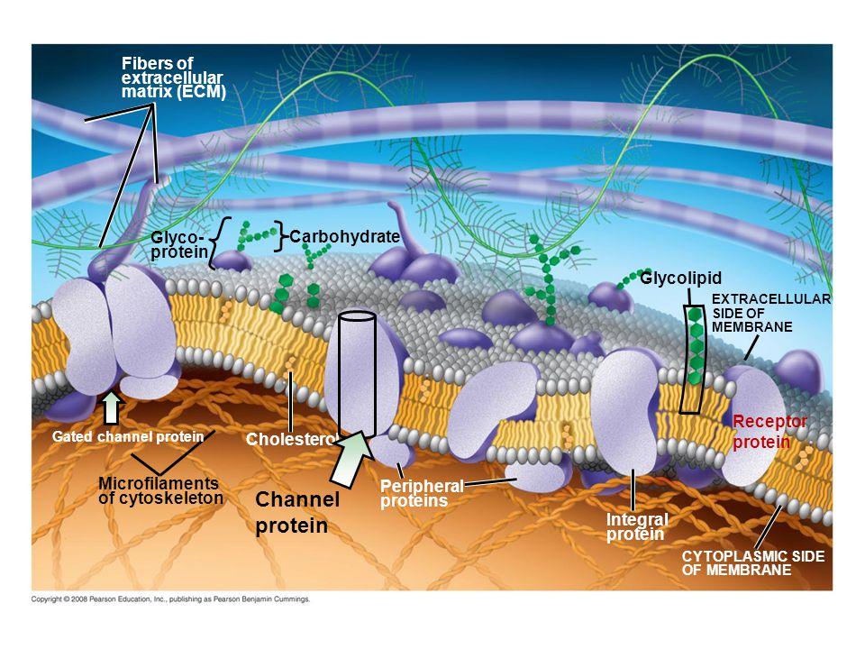 Fig. 7-7 Fibers of extracellular matrix (ECM) Glyco- protein Microfilaments of cytoskeleton Cholesterol Peripheral proteins Integral protein CYTOPLASM