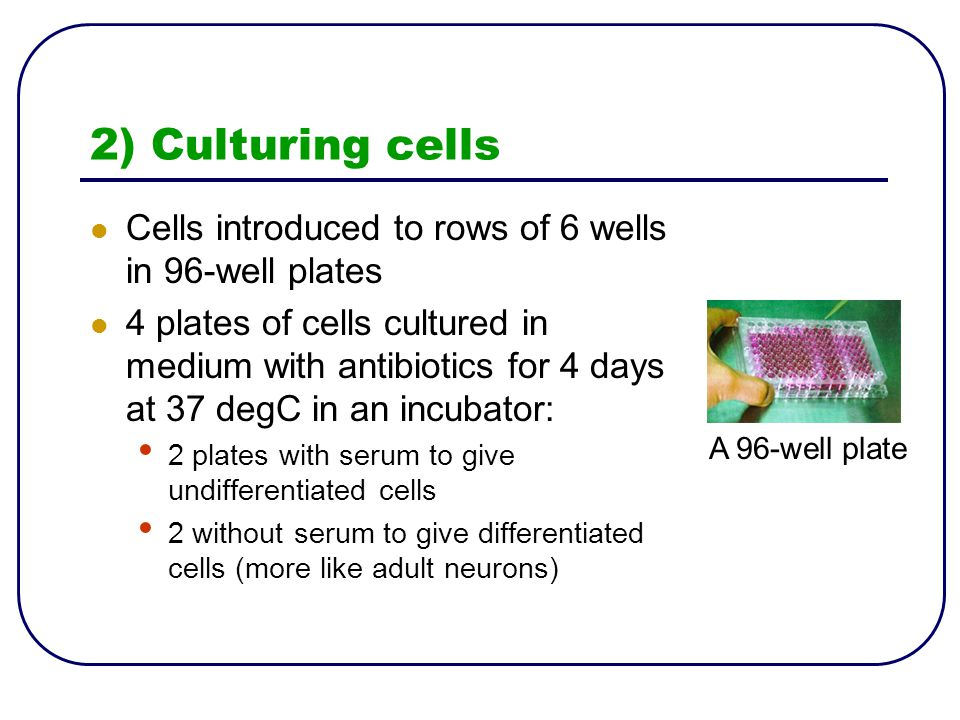 2) Culturing cells Cells introduced to rows of 6 wells in 96-well plates 4 plates of cells cultured in medium with antibiotics for 4 days at 37 degC in an incubator: 2 plates with serum to give undifferentiated cells 2 without serum to give differentiated cells (more like adult neurons) A 96-well plate