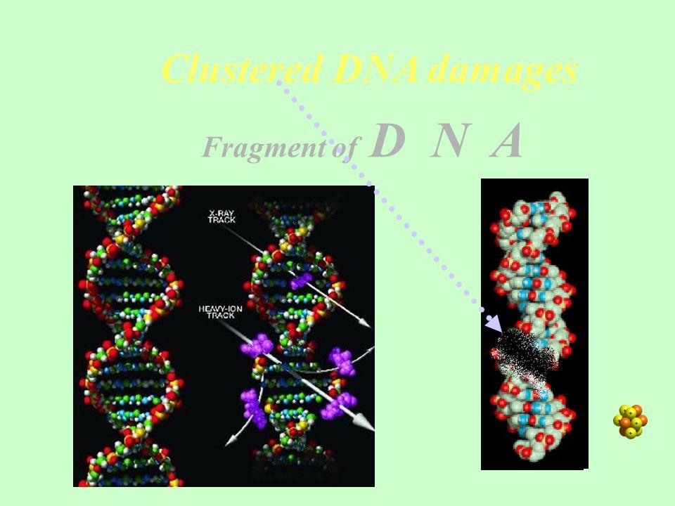 Clustered DNA damages Fragment of D N A