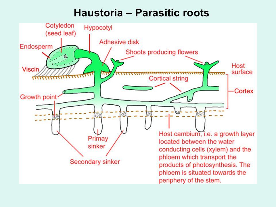 Haustoria – Parasitic roots