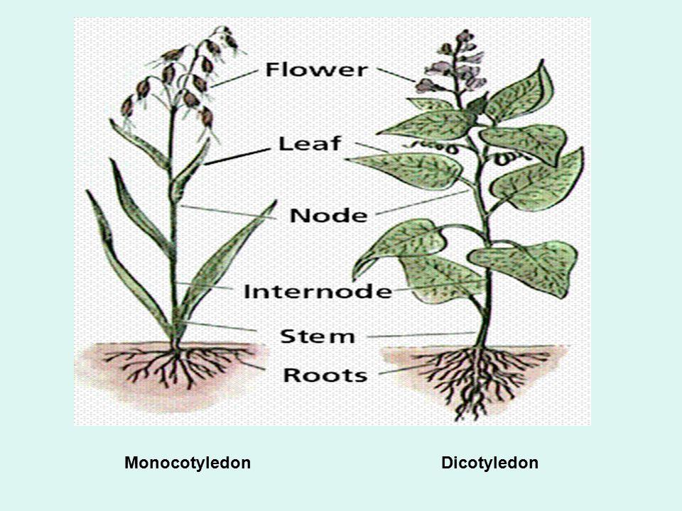 Monocotyledon Dicotyledon