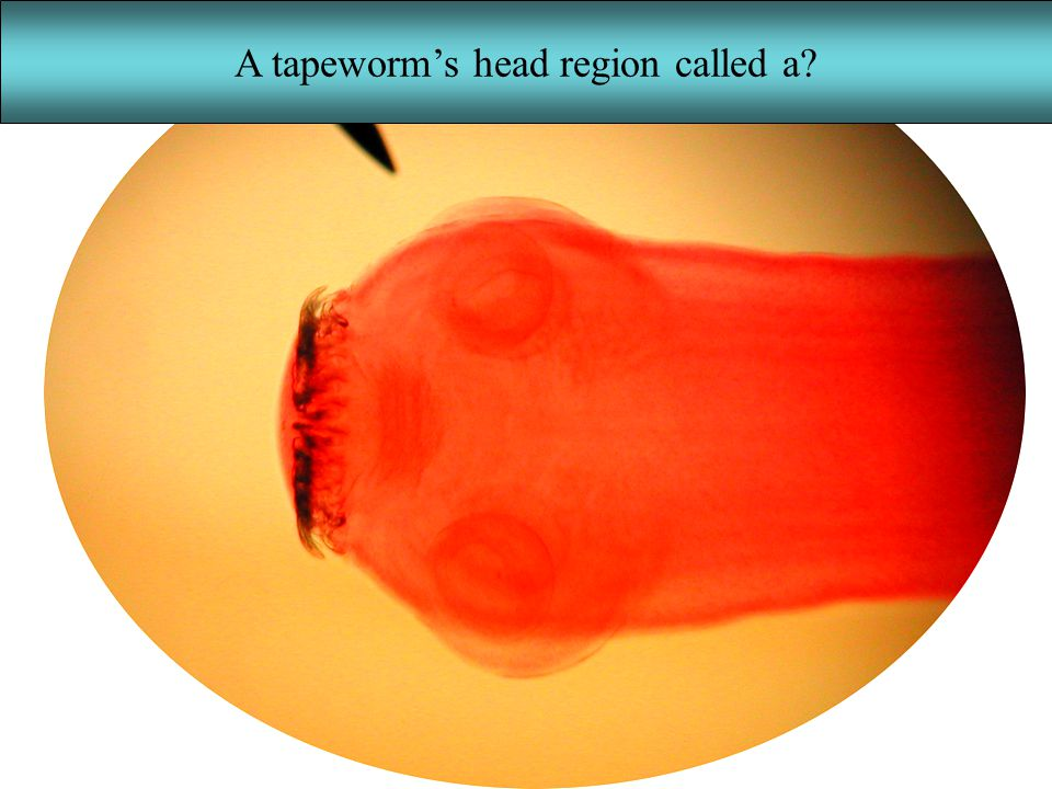 A tapeworm's head region called a