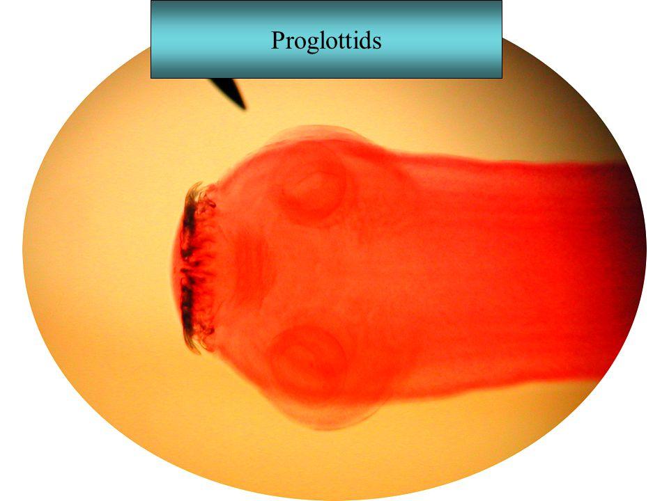 Proglottids