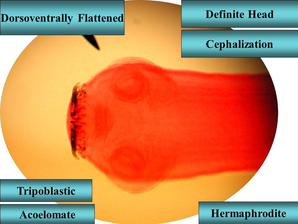 Dorsoventrally Flattened Definite Head Cephalization Acoelomate Tripoblastic Hermaphrodite