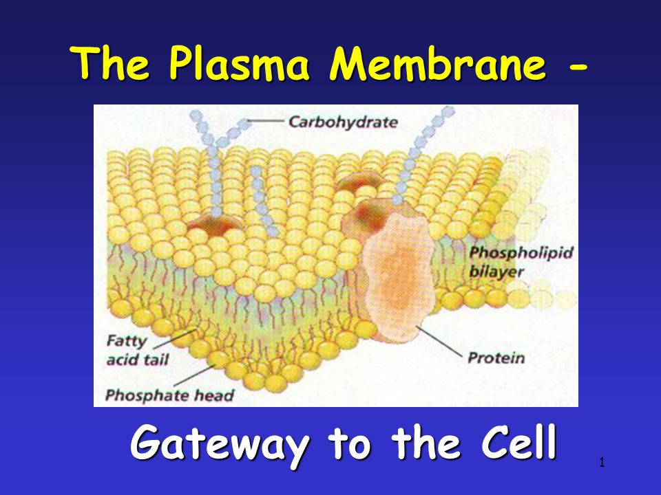 1 The Plasma Membrane The Plasma Membrane - Gateway to the Cell