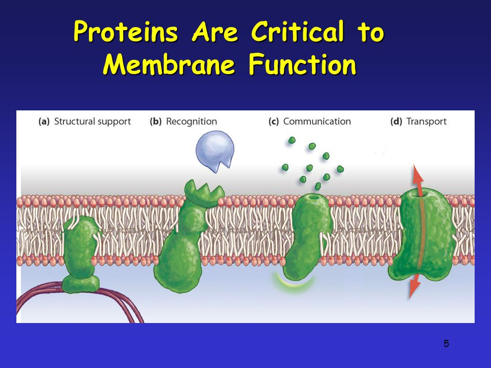 6 Types of Transport Proteins Channel proteins are embedded in the cell membrane & have a pore for materials to cross Carrier proteins can change shape to move material from one side of the membrane to the other