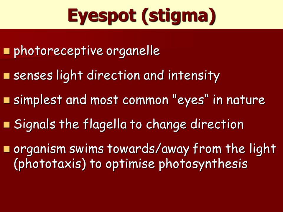 Eyespot (stigma) photoreceptive organelle photoreceptive organelle senses light direction and intensity senses light direction and intensity simplest