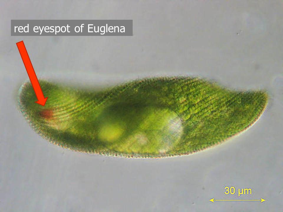 red eyespot of Euglena