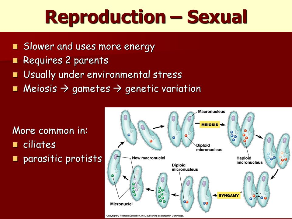 Reproduction – Sexual Slower and uses more energy Slower and uses more energy Requires 2 parents Requires 2 parents Usually under environmental stress Usually under environmental stress Meiosis  gametes  genetic variation Meiosis  gametes  genetic variation More common in: ciliates ciliates parasitic protists parasitic protists