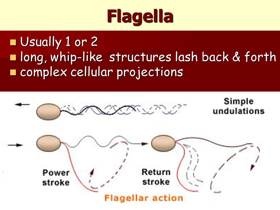 Flagella Usually 1 or 2 Usually 1 or 2 long, whip-like structures lash back & forth long, whip-like structures lash back & forth complex cellular projections complex cellular projections
