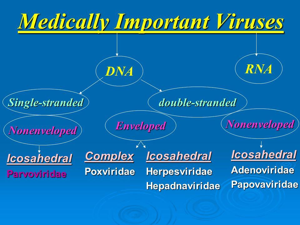 Medically Important Viruses ComplexPoxviridae IcosahedralHerpesviridaeHepadnaviridae IcosahedralAdenoviridaePapovaviridae Enveloped RNA DNA Nonenveloped Single-stranded double-stranded IcosahedralParvoviridae Nonenveloped