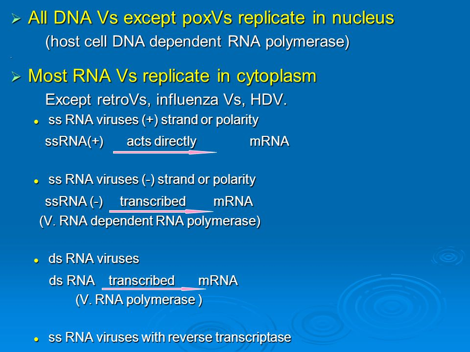  All DNA Vs except poxVs replicate in nucleus (host cell DNA dependent RNA polymerase) (host cell DNA dependent RNA polymerase).