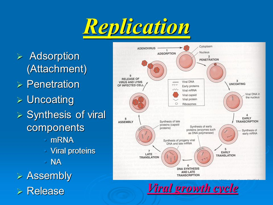 Replication  Adsorption (Attachment)  Penetration  Uncoating  Synthesis of viral components mRNAmRNA Viral proteinsViral proteins NANA  Assembly  Release Viral growth cycle
