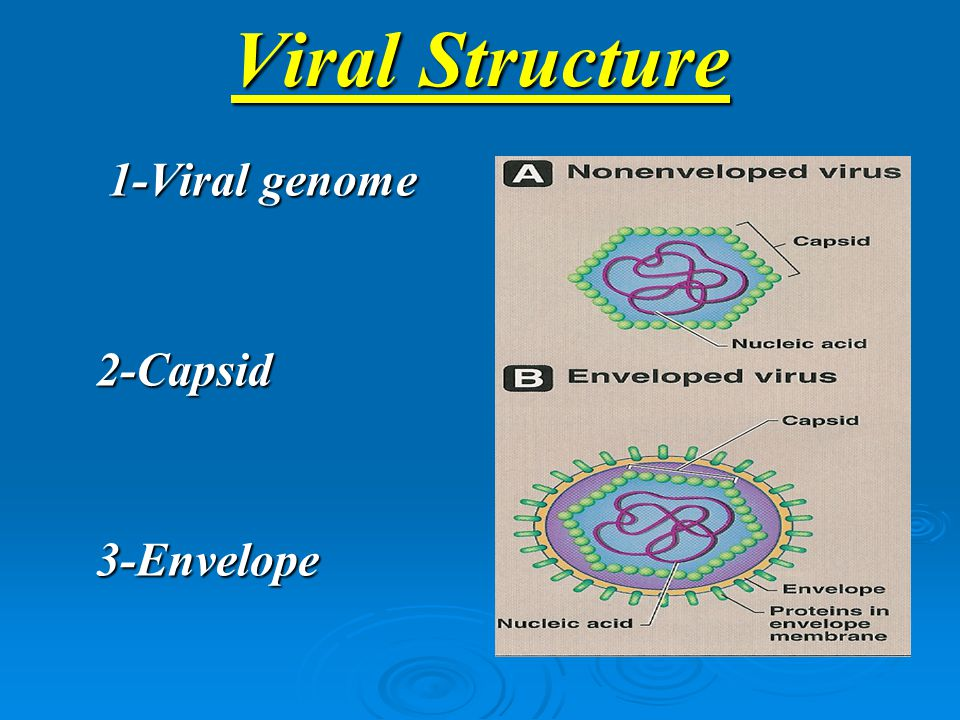 Viral Structure 1-Viral genome 1-Viral genome2-Capsid 3-Envelope
