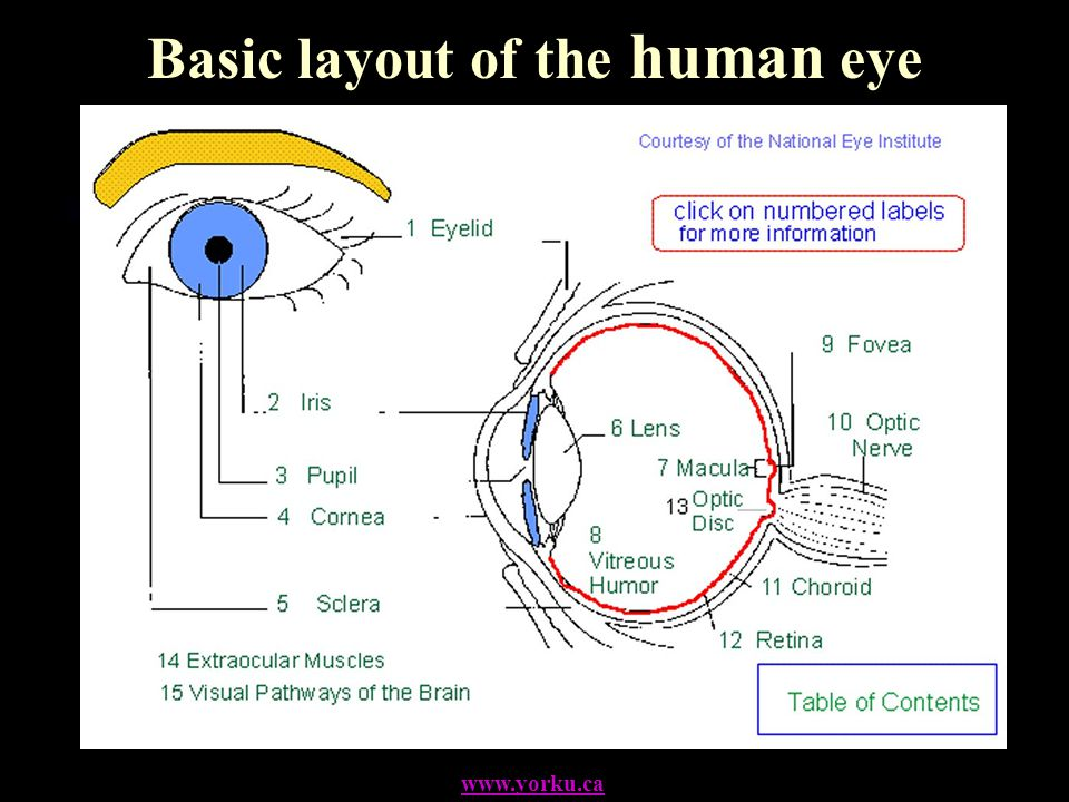 Basic layout of the human eye www.yorku.ca