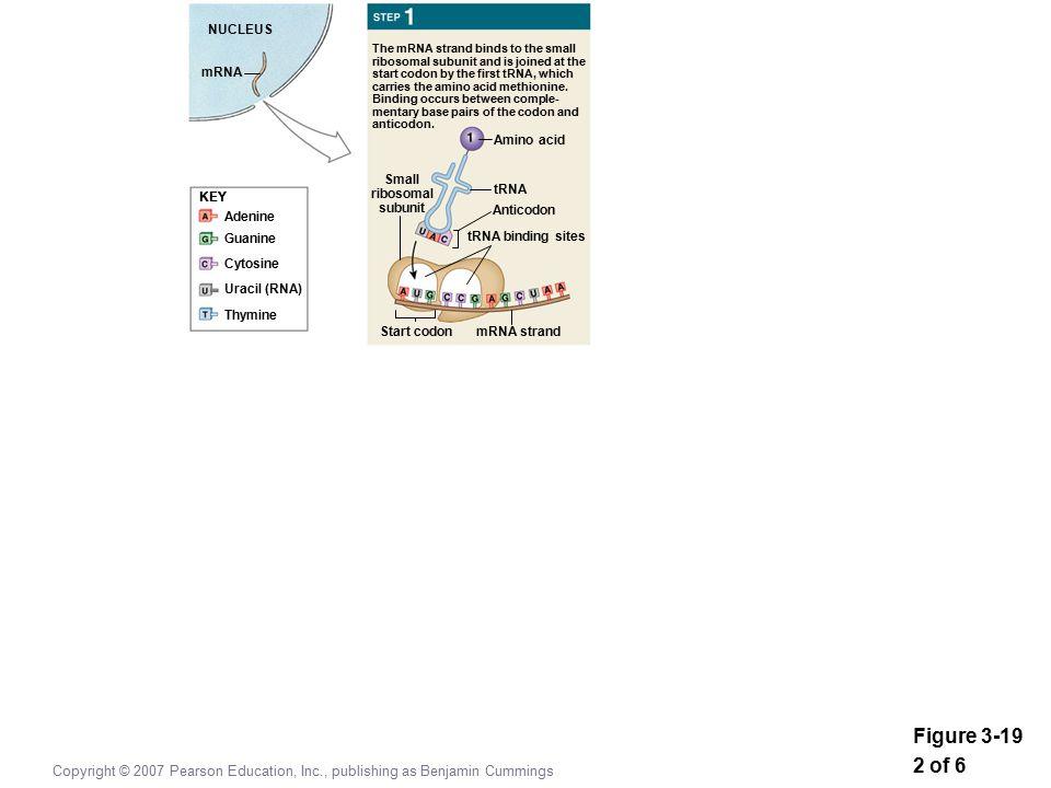 Figure 3-19 2 of 6 Copyright © 2007 Pearson Education, Inc., publishing as Benjamin Cummings KEY Adenine Guanine Cytosine Uracil (RNA) Thymine KEY NUCLEUS mRNA Amino acid tRNA Anticodon tRNA binding sites Small ribosomal subunit mRNA strandStart codon The mRNA strand binds to the small ribosomal subunit and is joined at the start codon by the first tRNA, which carries the amino acid methionine.