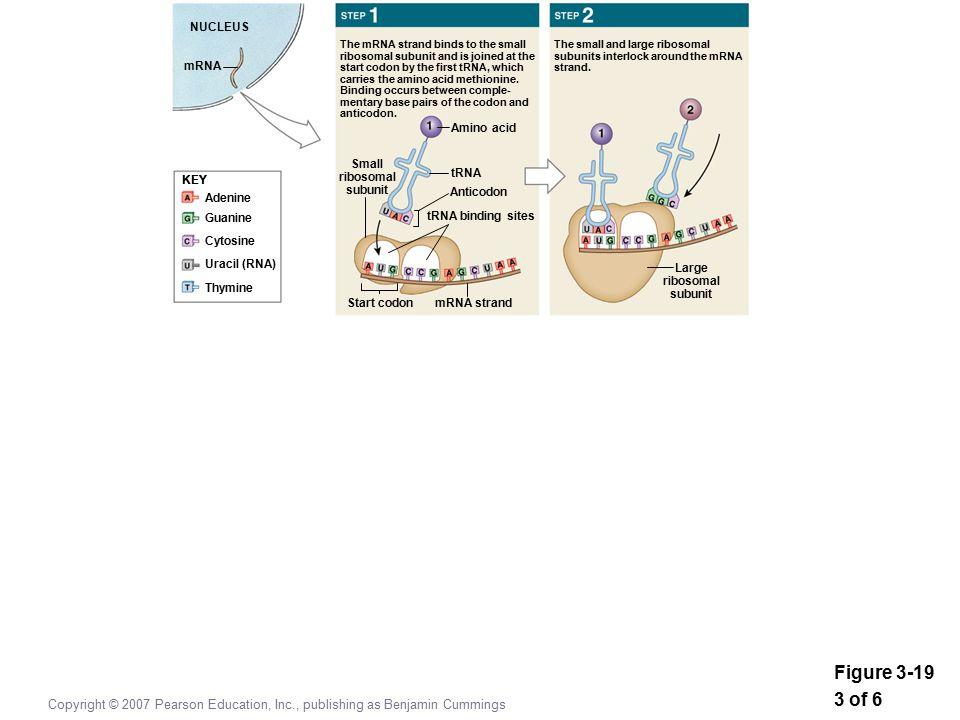 Figure 3-19 3 of 6 Copyright © 2007 Pearson Education, Inc., publishing as Benjamin Cummings KEY Adenine Guanine Cytosine Uracil (RNA) Thymine KEY NUCLEUS mRNA Amino acid tRNA Anticodon tRNA binding sites Small ribosomal subunit mRNA strandStart codon The mRNA strand binds to the small ribosomal subunit and is joined at the start codon by the first tRNA, which carries the amino acid methionine.