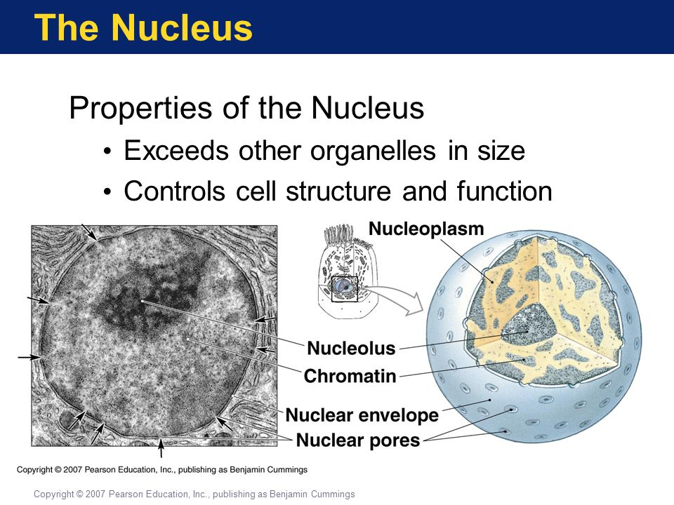 The Nucleus Properties of the Nucleus Exceeds other organelles in size Controls cell structure and function Copyright © 2007 Pearson Education, Inc., publishing as Benjamin Cummings