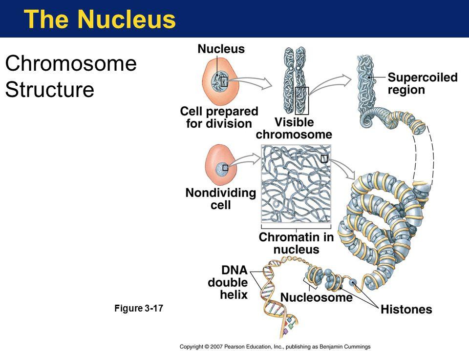 The Nucleus Chromosome Structure Figure 3-17