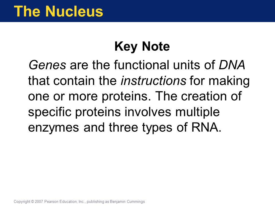 The Nucleus Key Note Genes are the functional units of DNA that contain the instructions for making one or more proteins.