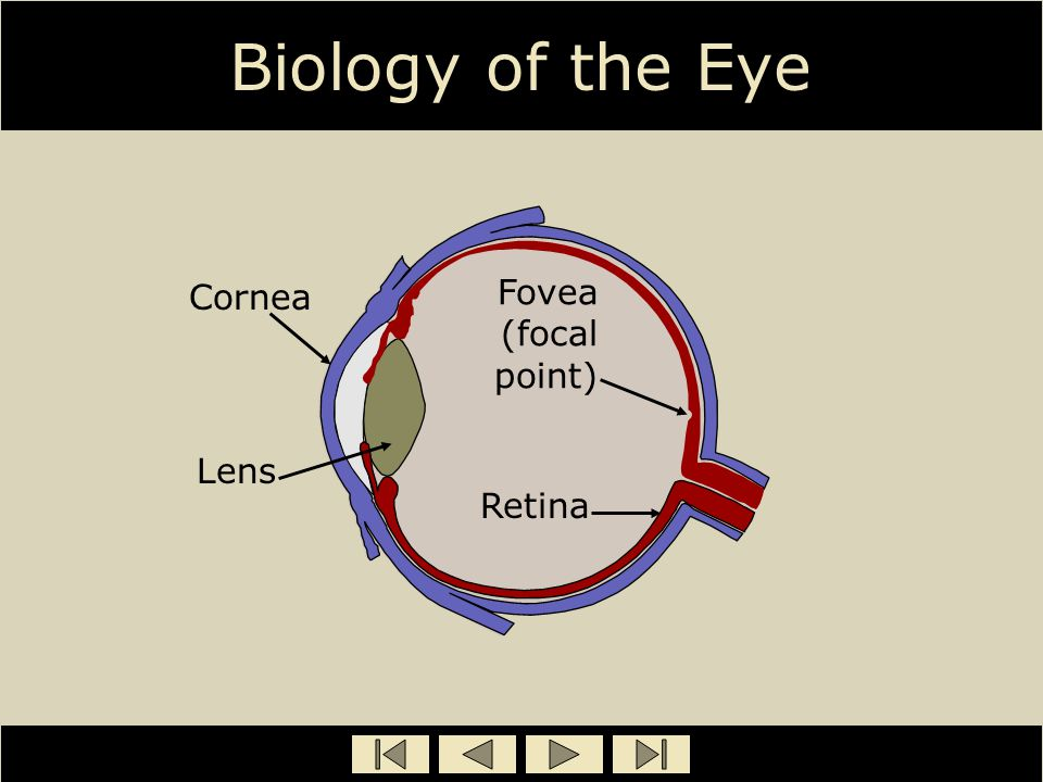 Biology of the Eye Cornea Lens Fovea (focal point) Retina