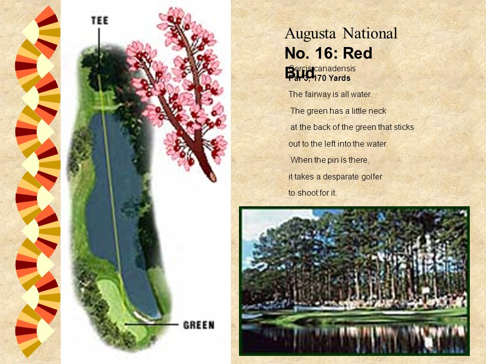 No. 16: Red Bud Cercis canadensis Par 3, 170 Yards The fairway is all water.