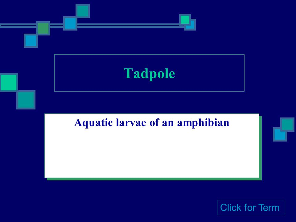 Aquatic larvae of an amphibian Click for Term