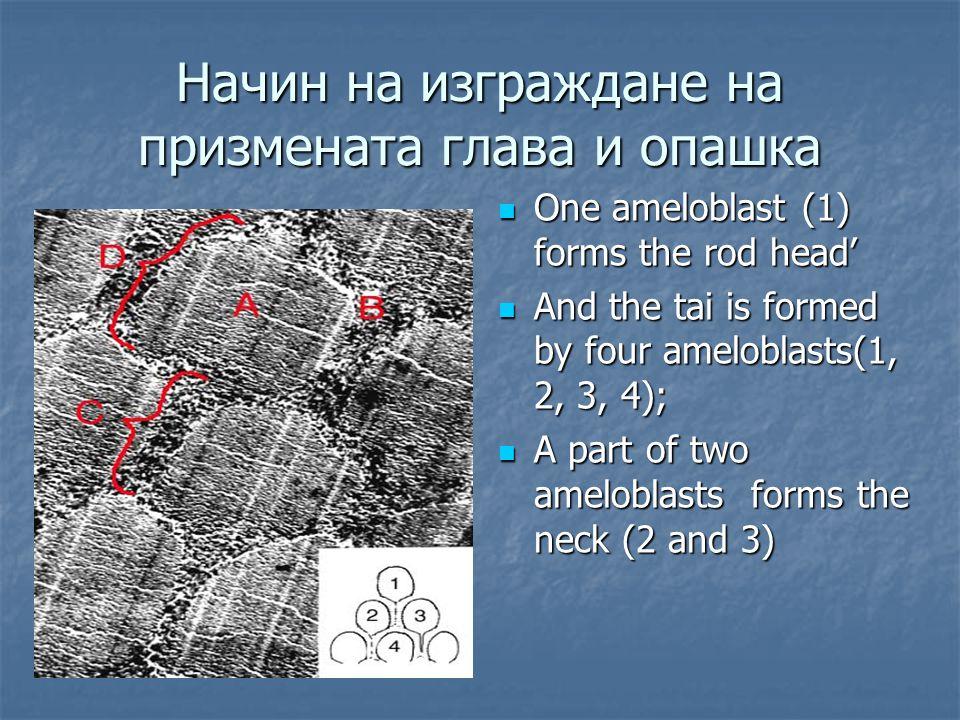 Начин на изграждане на призмената глава и опашка One ameloblast (1) forms the rod head' One ameloblast (1) forms the rod head' And the tai is formed by four ameloblasts(1, 2, 3, 4); And the tai is formed by four ameloblasts(1, 2, 3, 4); A part of two ameloblasts forms the neck (2 and 3) A part of two ameloblasts forms the neck (2 and 3)