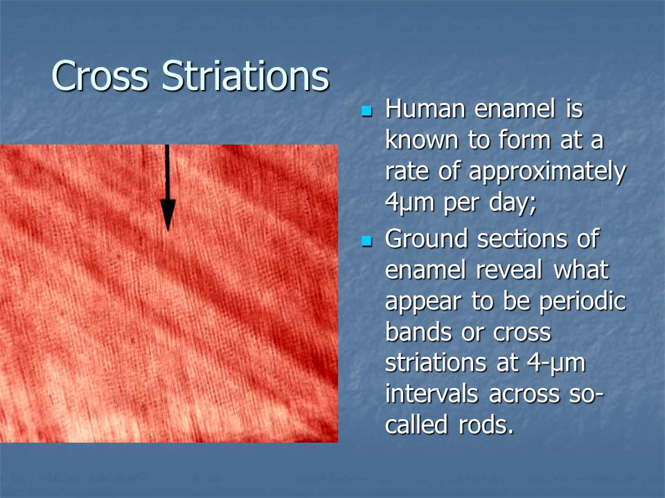 Cross Striations Human enamel is known to form at a rate of approximately 4µm per day; Human enamel is known to form at a rate of approximately 4µm per day; Ground sections of enamel reveal what appear to be periodic bands or cross striations at 4-µm intervals across so- called rods.