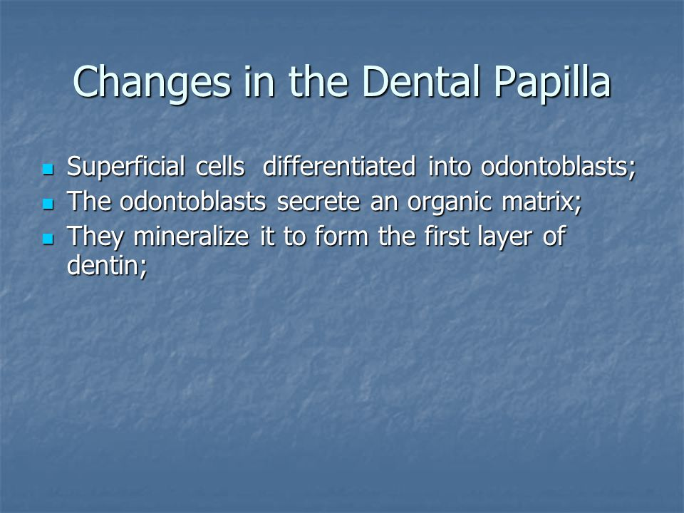 Changes in the Dental Papilla Superficial cells differentiated into odontoblasts; Superficial cells differentiated into odontoblasts; The odontoblasts