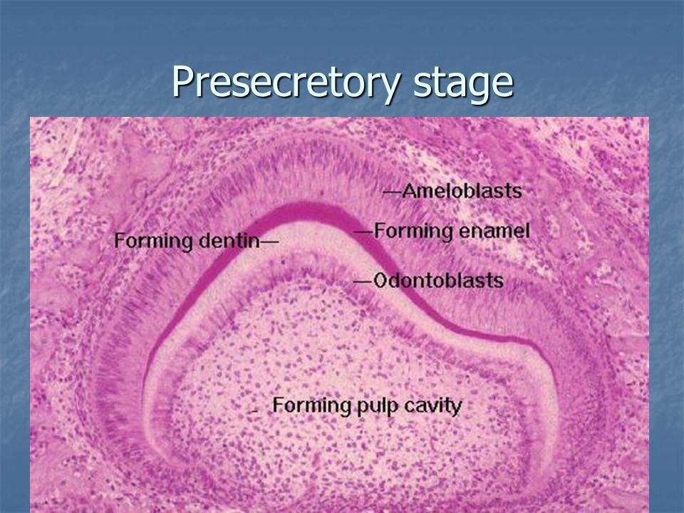 Presecretory stage Прекъсва се достъпът на хранителни продукти от зъбната папила към амелобластите. Прекъсва се достъпът на хранителни продукти от зъб