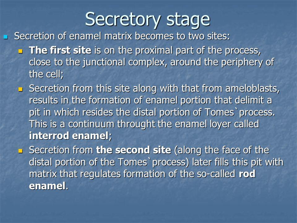 Secretory stage Secretion of enamel matrix becomes to two sites: Secretion of enamel matrix becomes to two sites: The first site is on the proximal pa