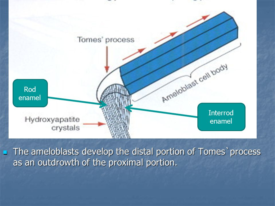 The ameloblasts develop the distal portion of Tomes`process as an outdrowth of the proximal portion.