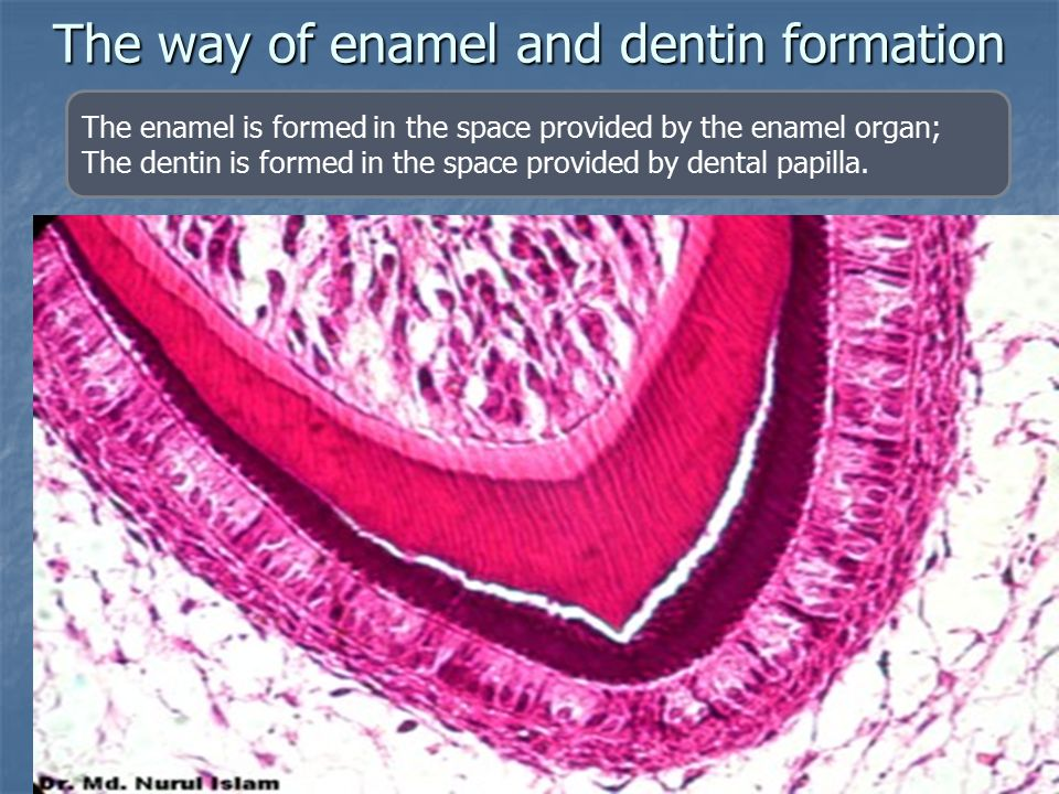 The way of enamel and dentin formation The enamel is formed in the space provided by the enamel organ; The dentin is formed in the space provided by dental papilla.