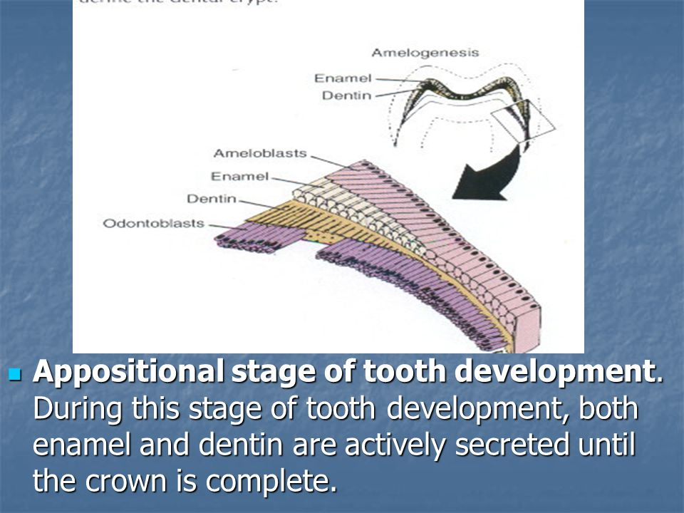 Appositional stage of tooth development.