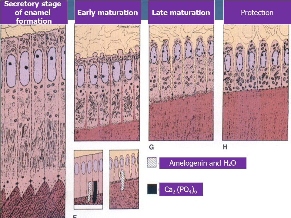 Secretory stage of enamel formation Early maturationLate maturationProtection Amelogenin and H 2 O Са 2 (РО 4 ) 6