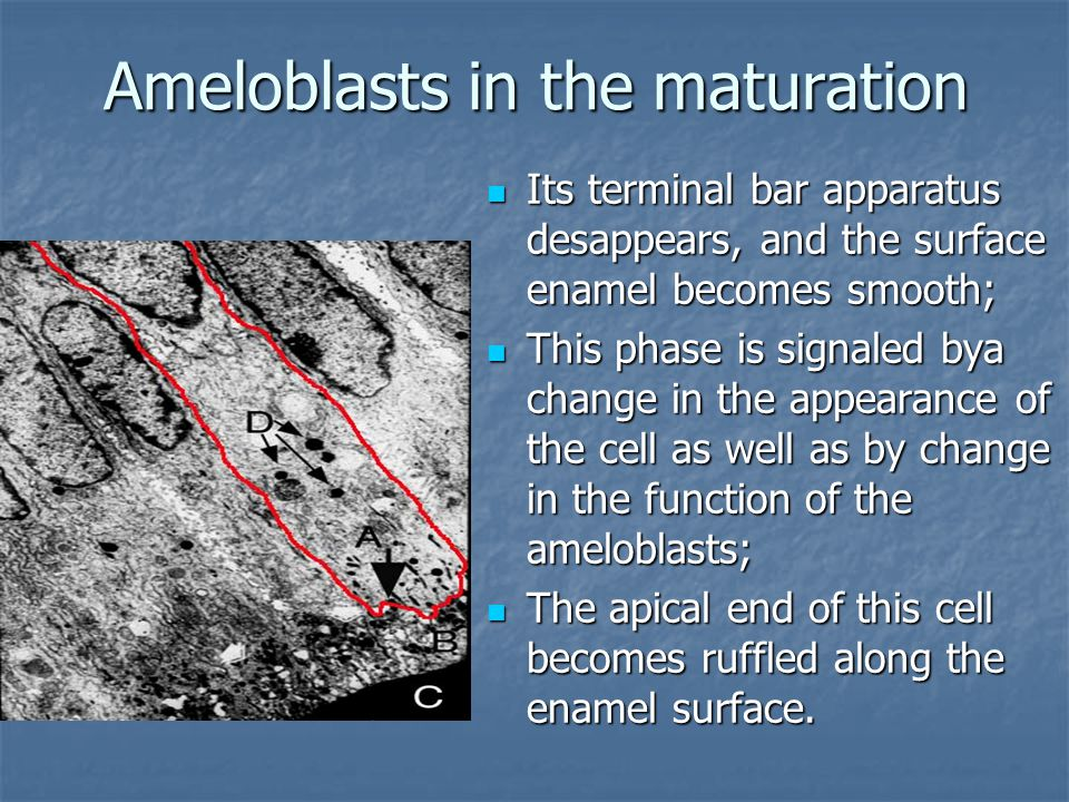 Ameloblasts in the maturation Its terminal bar apparatus desappears, and the surface enamel becomes smooth; Its terminal bar apparatus desappears, and