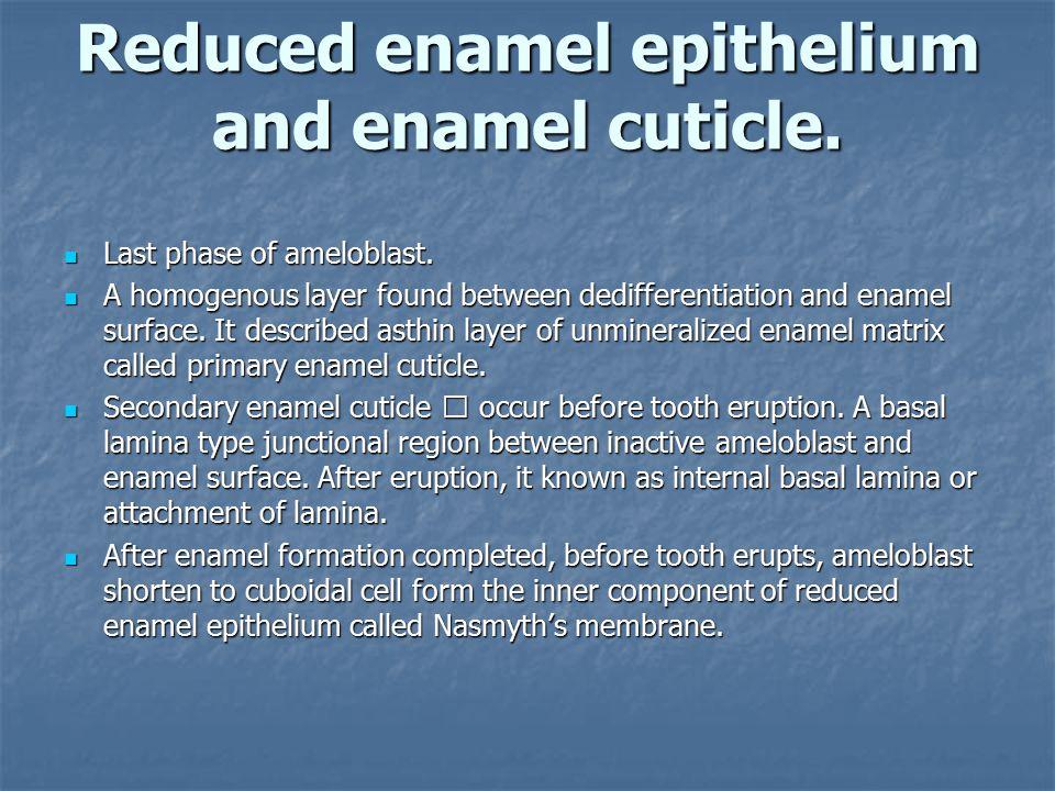 Reduced enamel epithelium and enamel cuticle.Last phase of ameloblast.