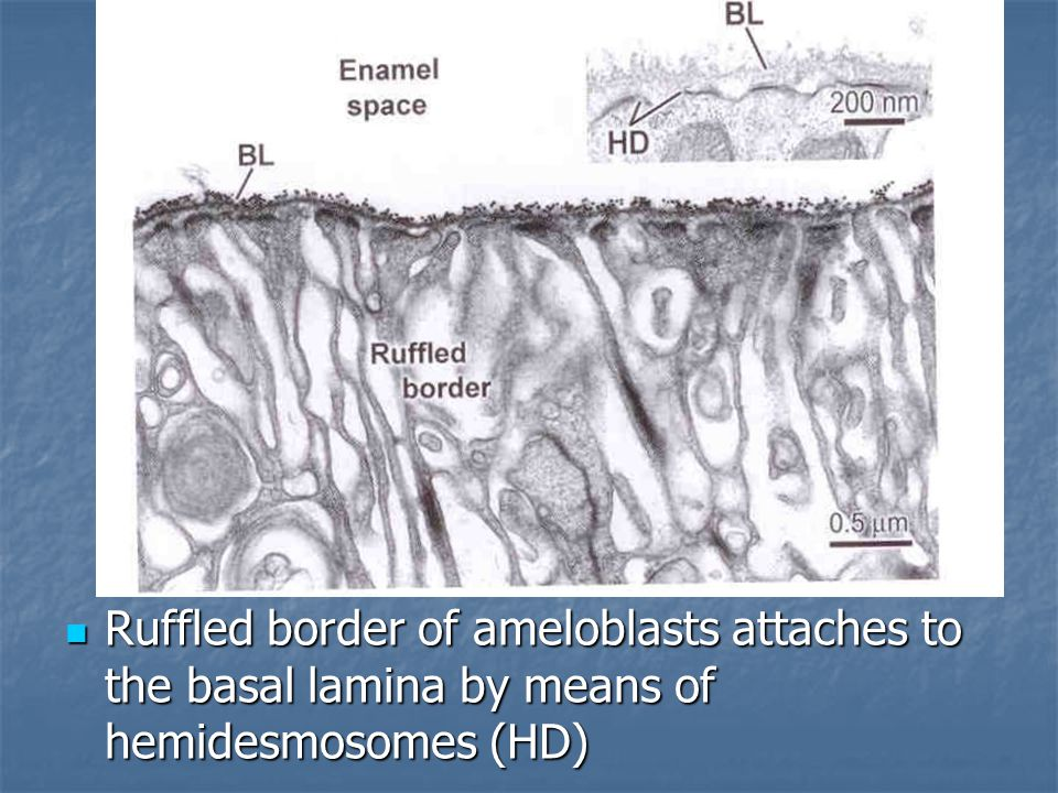 Ruffled border of ameloblasts attaches to the basal lamina by means of hemidesmosomes (HD) Ruffled border of ameloblasts attaches to the basal lamina