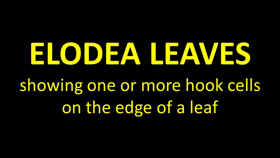 ELODEA LEAVES showing one or more hook cells on the edge of a leaf