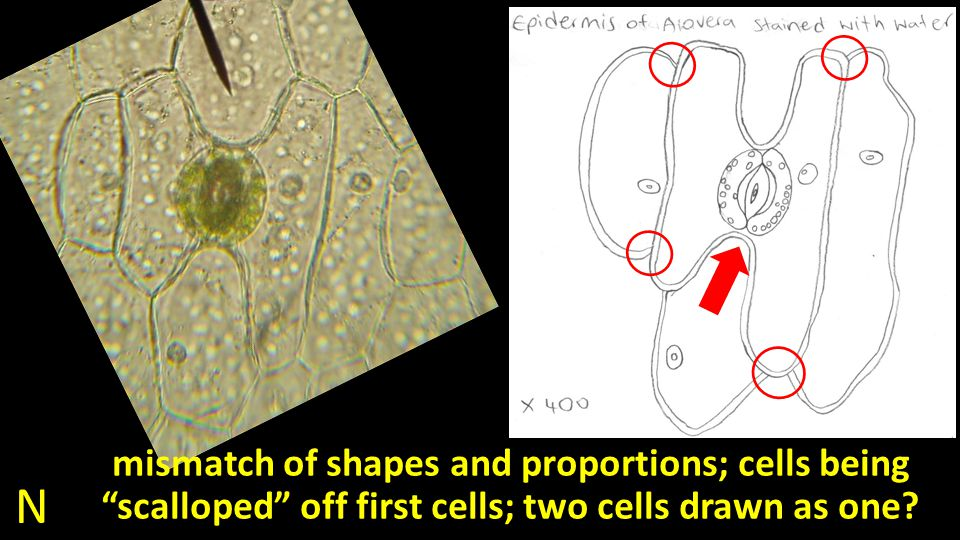 N mismatch of shapes and proportions; cells being scalloped off first cells; two cells drawn as one