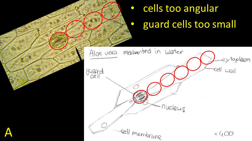 A cells too angular guard cells too small
