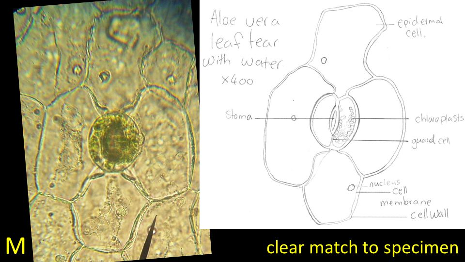 M clear match to specimen